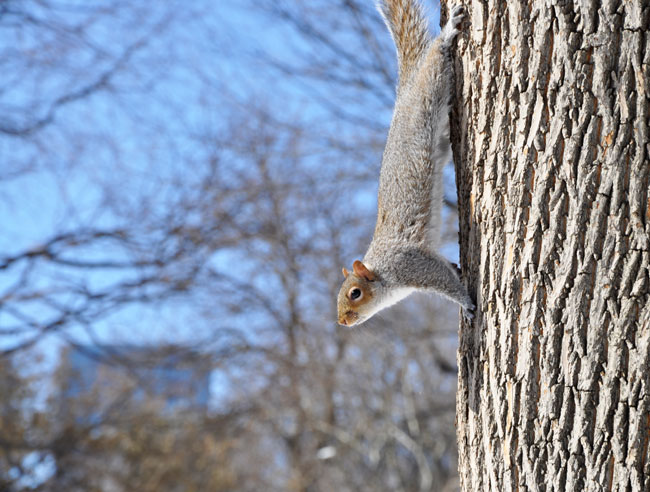 Central Park squirrel on tree