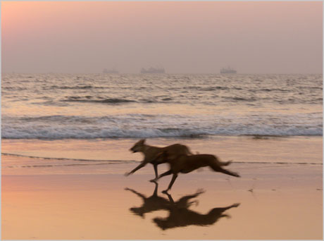 dogs running on beach in goa india. On quite a few nights, my girlfriend and