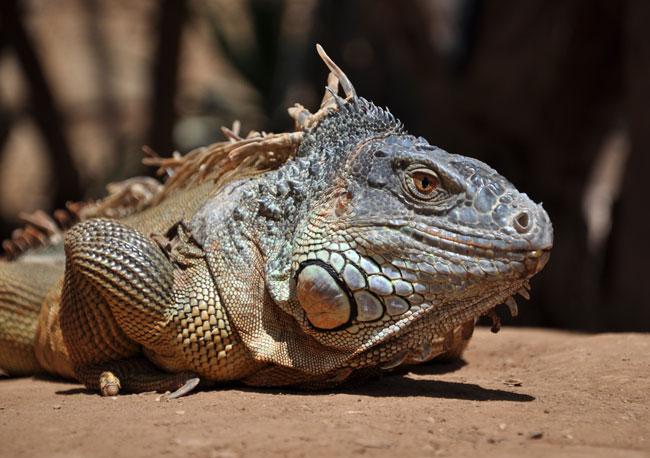 Tenerife reptile