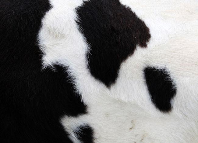 Cow skin pattern